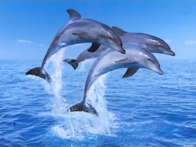 Animals Dolphins HD 1024x768 Background