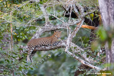 indian leopard at kabini