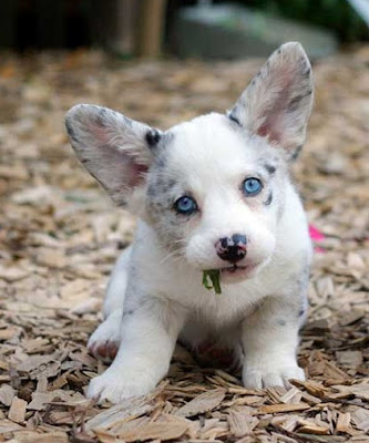 Cardigan Welsh Corgi Puppy Pictures