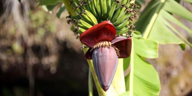 kesehatan : Manfaat Sehat Bunga Pisang
