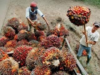 Ilustrasi panen kelapa sawit (foto radiogwp.com)
