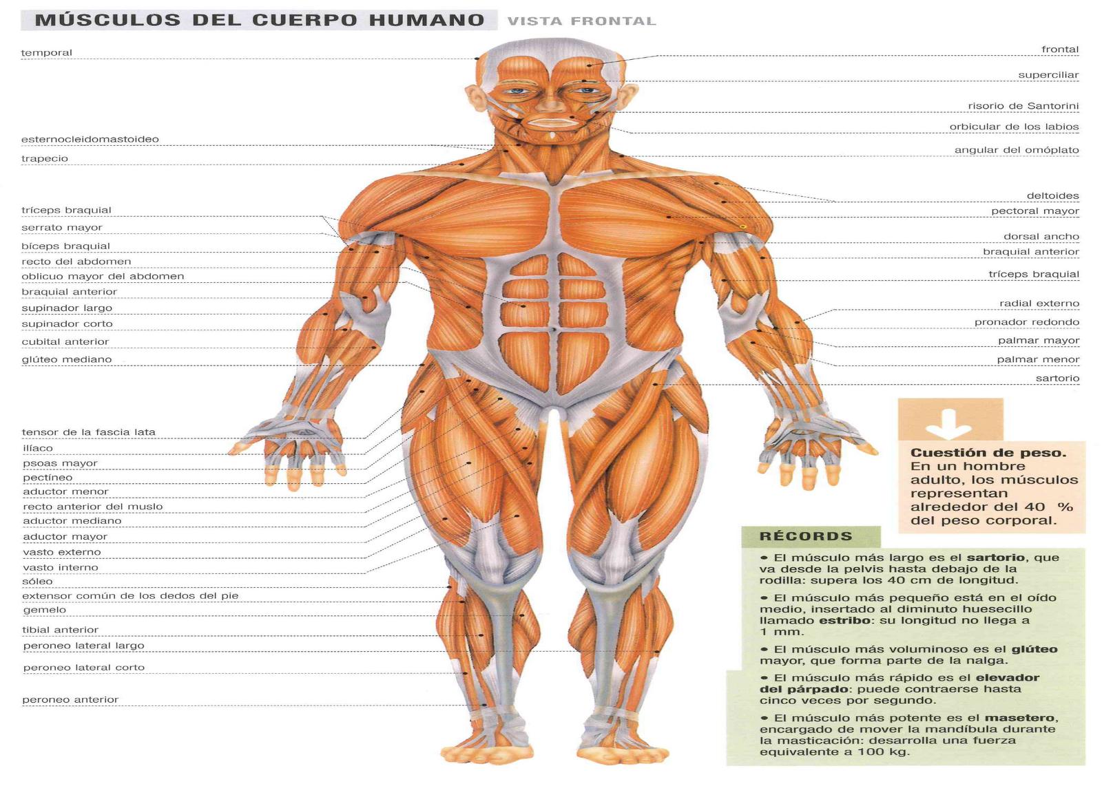 musculos y huesos imagenes: