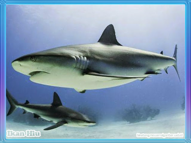 gambar ikan hiu