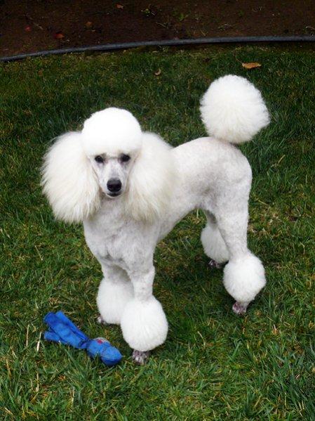 Huxtable The Poodle | Toy Poodle Blog | Parti Poodle: Parti Poodle in ...