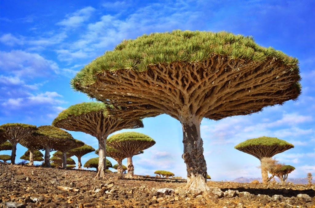 Dragon's Blood Tree - Simpeltek.blogspot.com