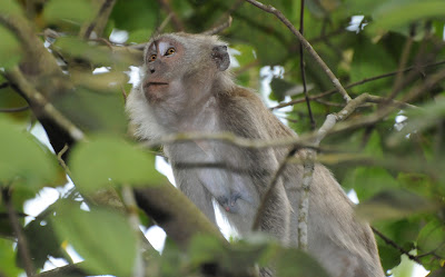 Long-tailed Macaque (Macaca fascicularis)