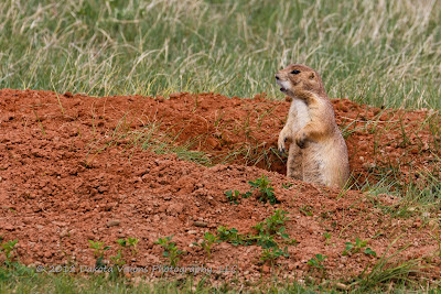 Prairie Dogs in Devils Tower National Park Black Hills by Dakota Visions Photography LLC www.dakotavisions.com
