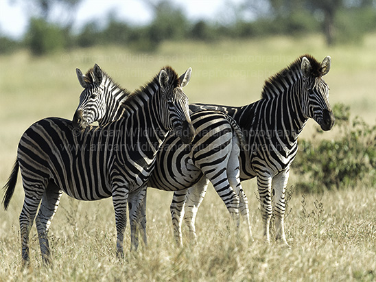Photograph of three Plains Zebra, (Equus burchellii)