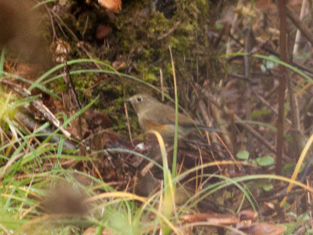 Red-flanked Bluetail - Norfolk