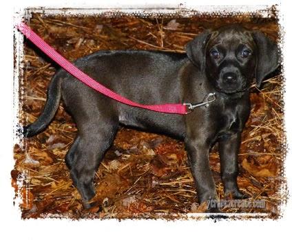 puppy, redbone coonhound, dog
