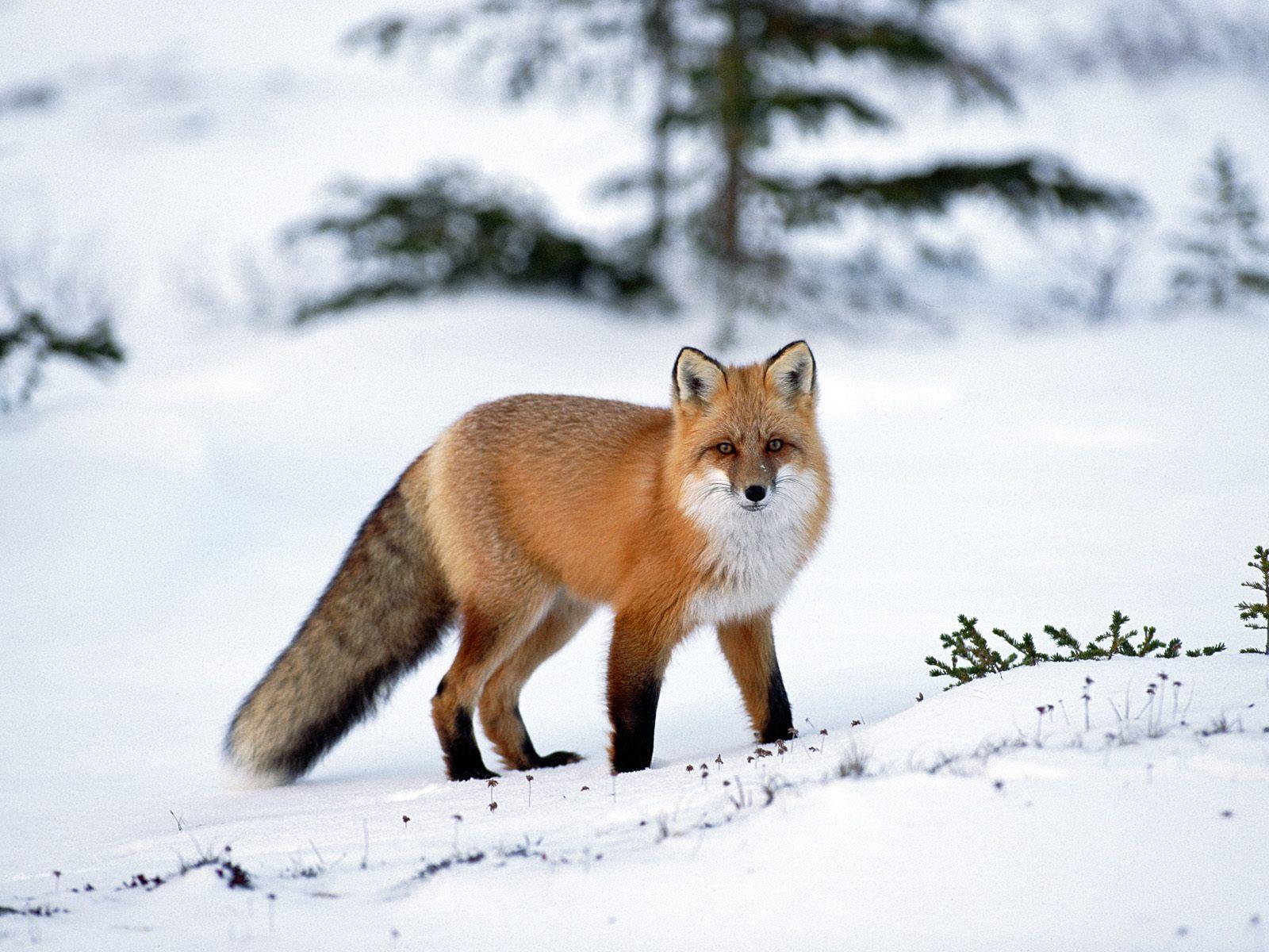 http://2.bp.blogspot.com/-DYsdiHHUwes/TxdqojJJdcI/AAAAAAAAGx4/d_ioesTC5lM/s1600/506-fox-snow-wallpaper-1600x1200-customity.jpg
