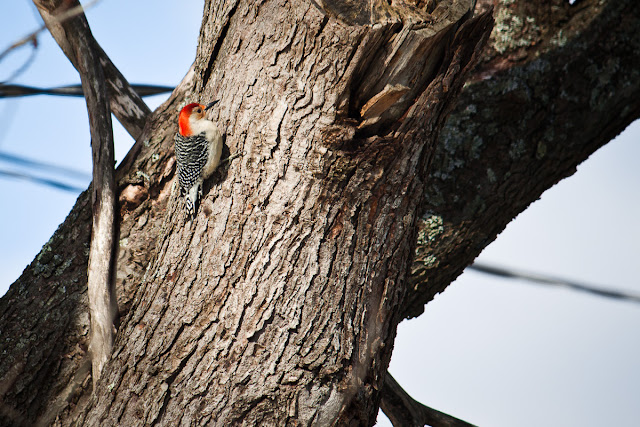 Ohio Red-Bellied Woodpecker in February