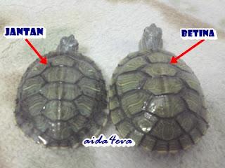 Perbezaan saiz; kura-kura betina biasanya lebih besar dari jantan.