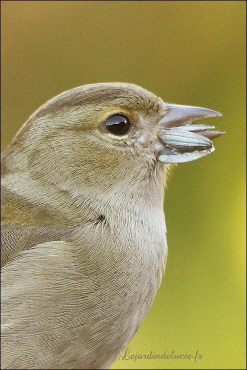 Le bec des oiseaux et la graine de tournesol - Graines de tournesol pour oiseaux ...