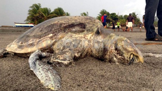 Another 100 dead turtles off the Southwest Mexican coast now approaching 1,000....More marine life