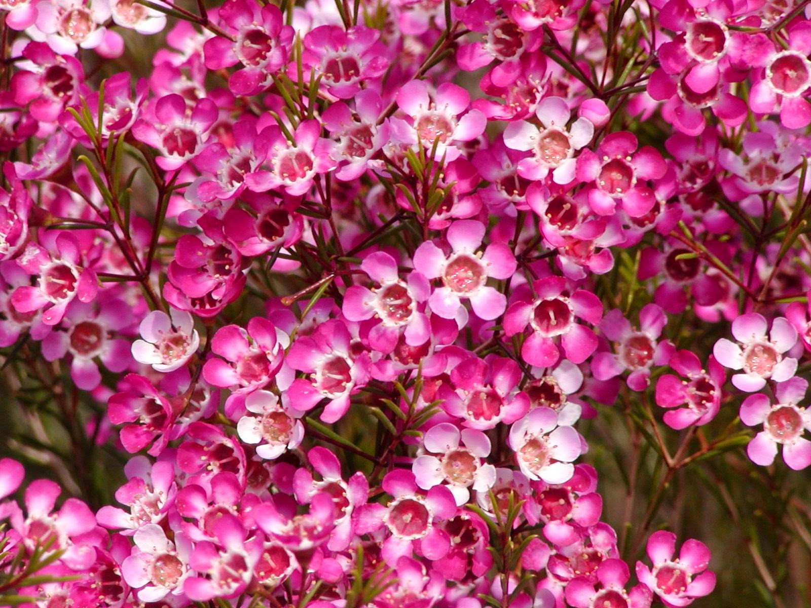 New Waxflower Purple