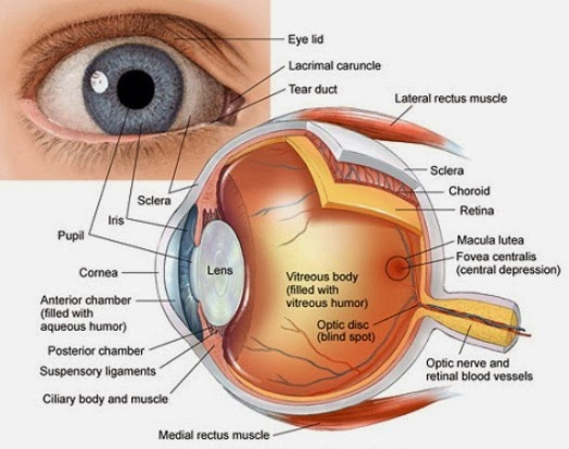 Lacrimal gland eye diagram electrical work wiring diagram lacrimal apparatus anatomy and development of face rh facts4u co in redness of lacrimal gland human ccuart Images