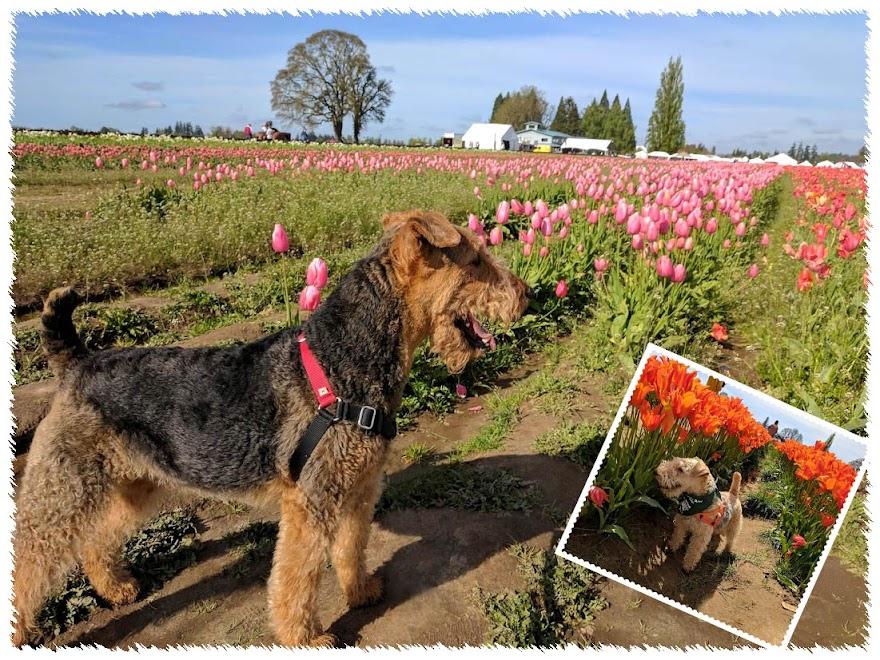 tulip walk