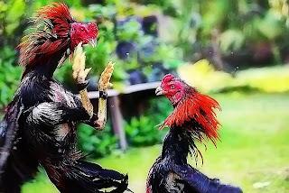 melatih ayam aduan