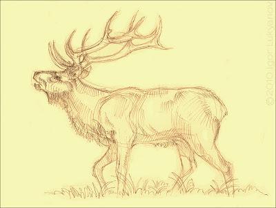 Elk sketch (pencil drawing)