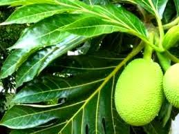 Herbal Atasi Gagal Ginjal dengan Daun Sukun