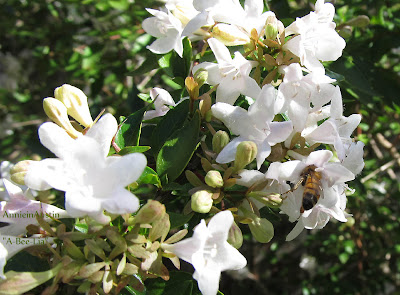 annieinaustin Bee on abelia