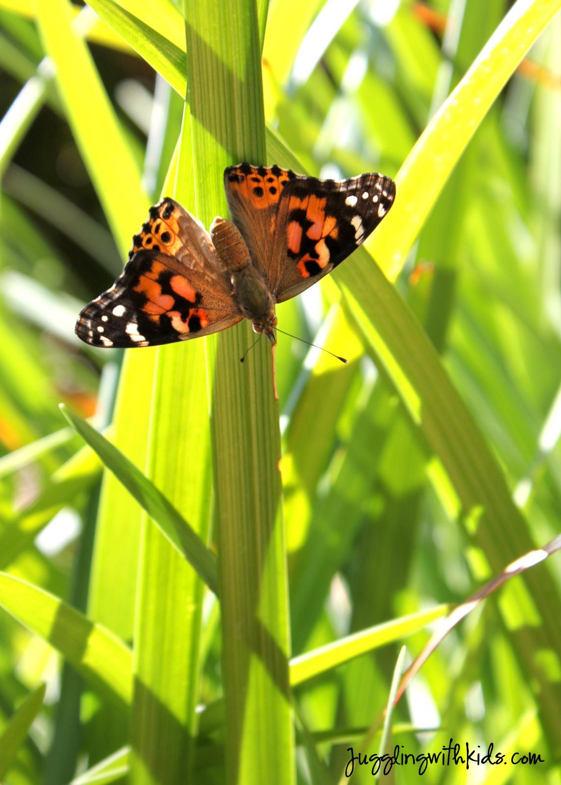 Caterpillars Chrysalis And Butterflies Oh My Juggling