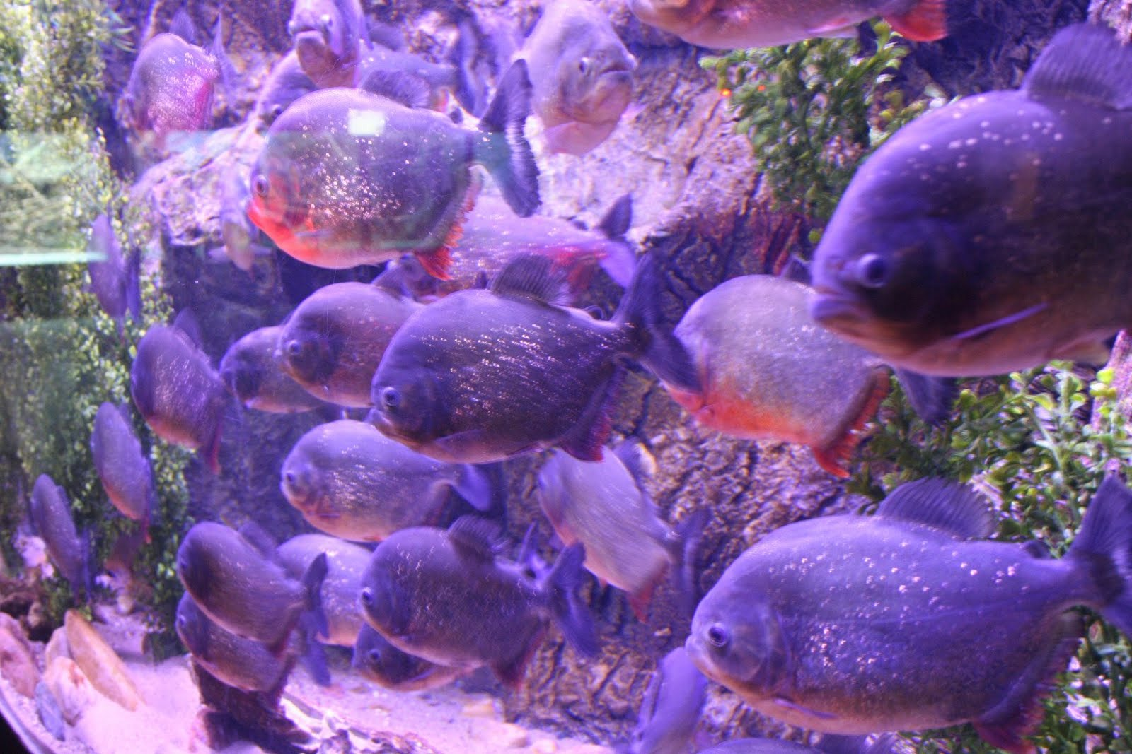 Finding Nemo in addition Ten People Savaged Flesh Eating Piranhas Argentinian River Tried Cool Blistering 41C Heat in addition Watch in addition Blog Page further Image Odyssey Fanged Fish. on oscar fish teeth