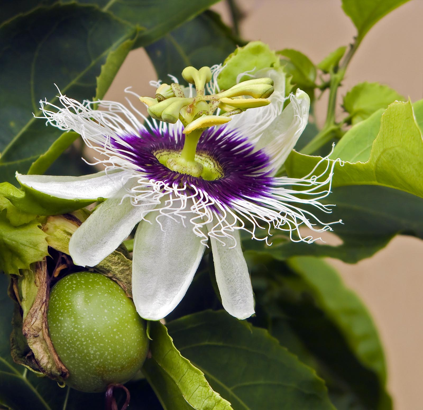 We re Making Passionfruit Seed Oil