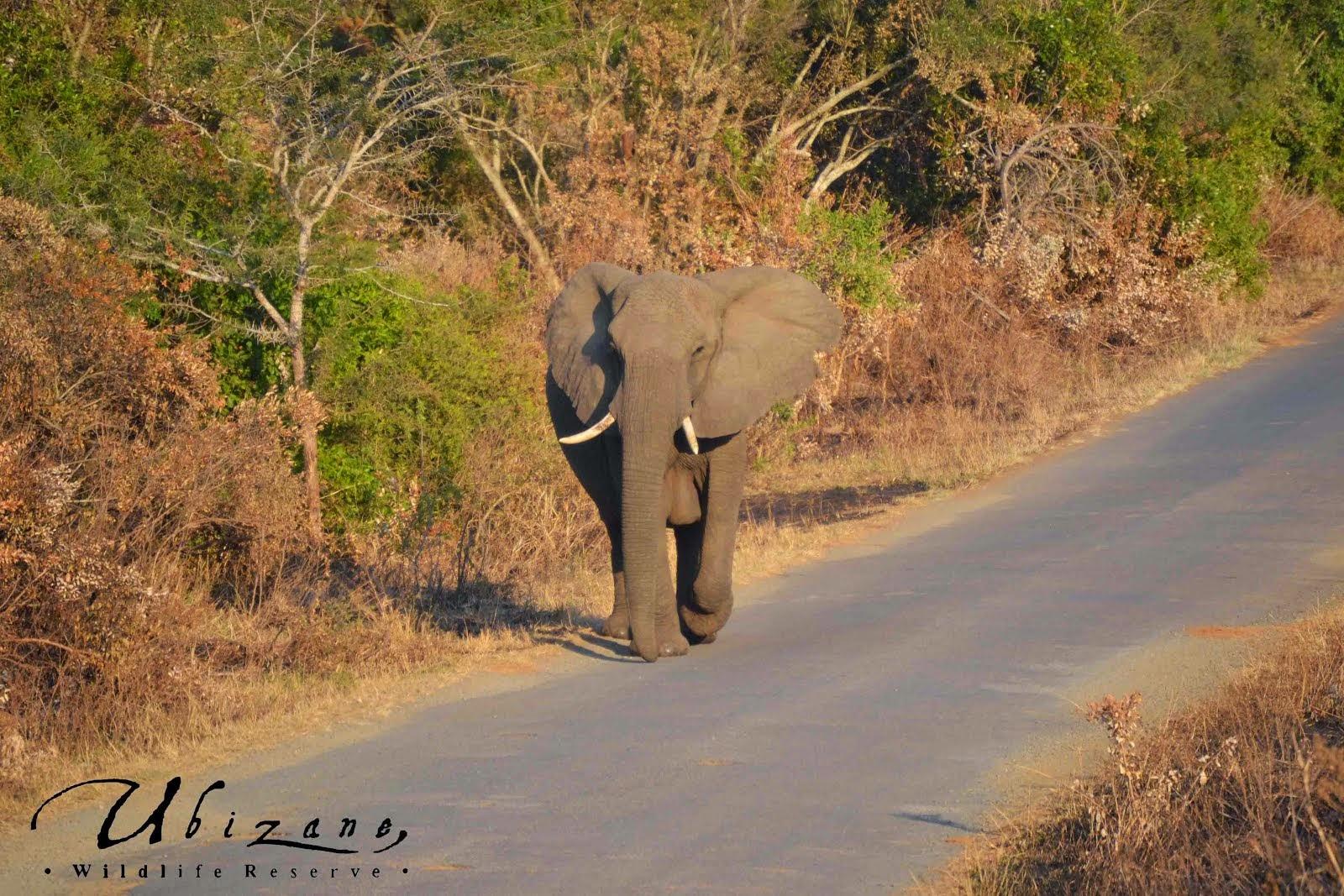 Hluhluwe Game Reserve Elephant