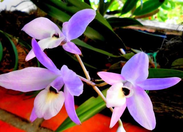 Orquídea Guaria Morada
