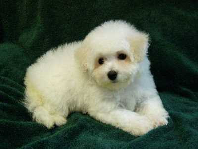Dogs Breeds and Puppies Reviews: Bichon Frise Reviews and Collection ...