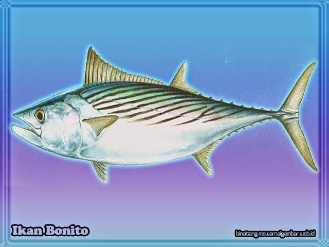 gambar ikan bonito
