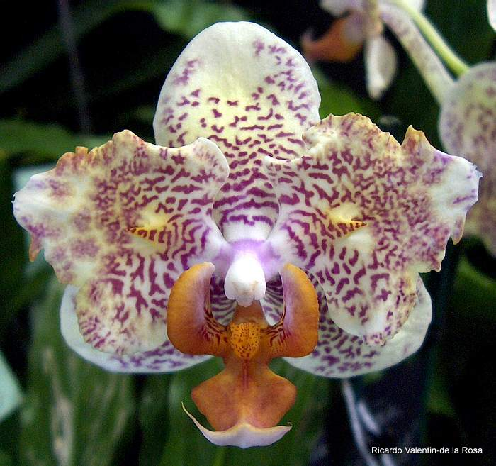 ricardo 39 s blog a peculiar phalaenopsis phal center. Black Bedroom Furniture Sets. Home Design Ideas