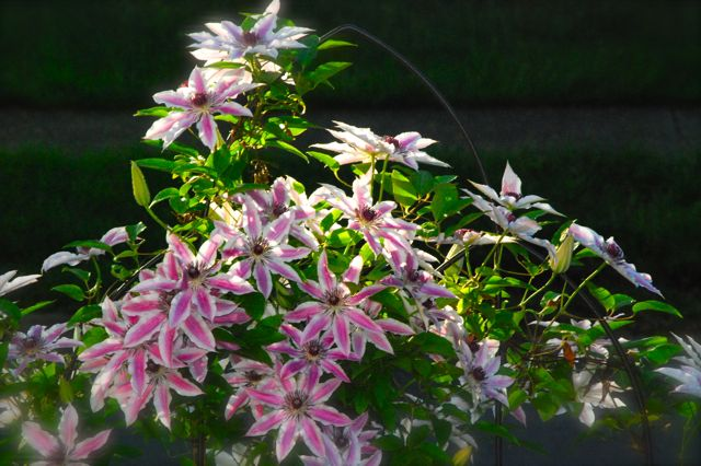 Clematis 'Nelly Moser' in a spring sunset. One of the advantages to a free standing trellis is that the sun illuminates the petals in the evening.