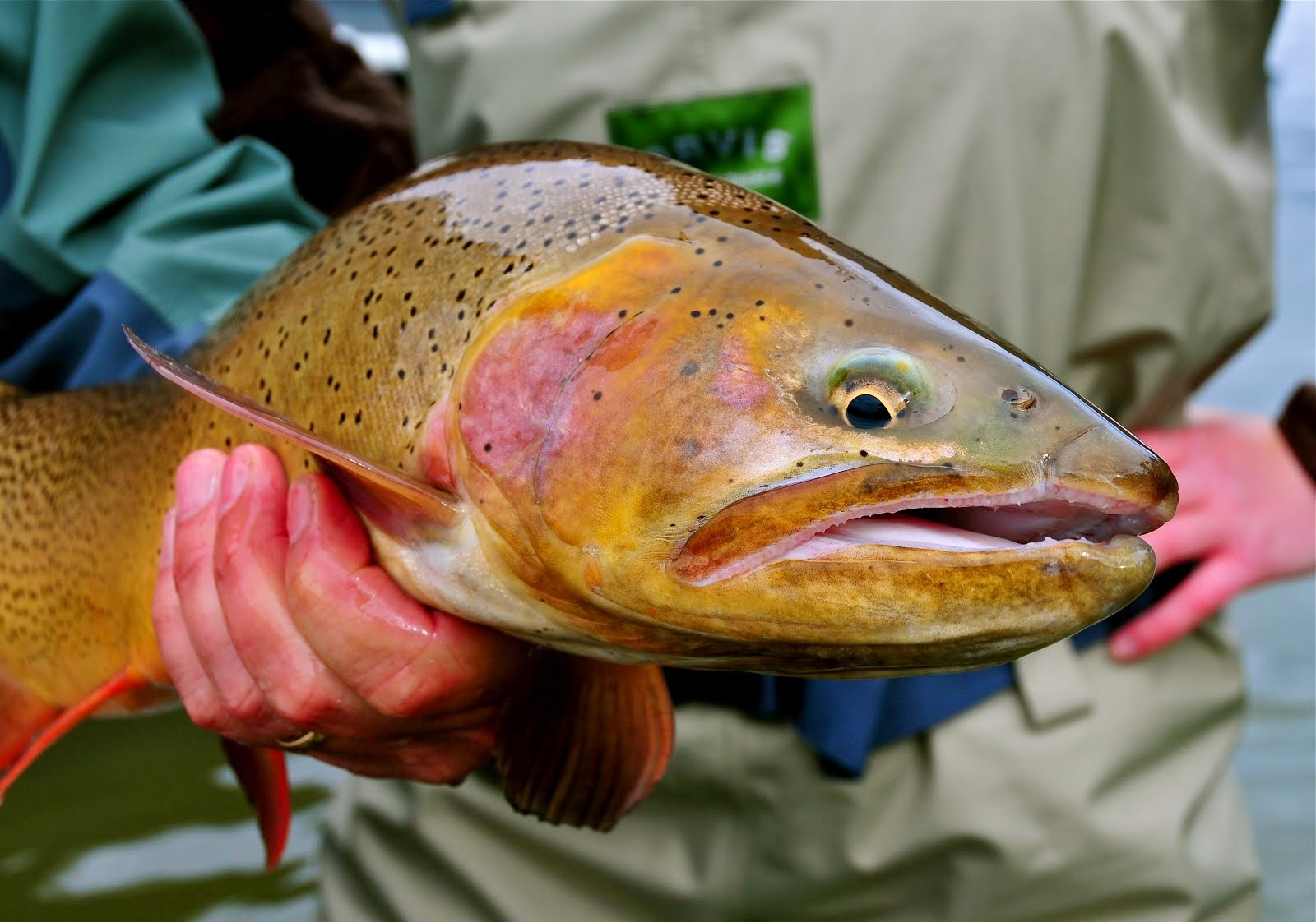 Beautiful Snake River Cutthroat