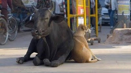 funny cow and dog friendship