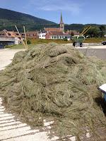 Des tonnes d'algues sont coupées à Concise -  lac de Neuchâtel