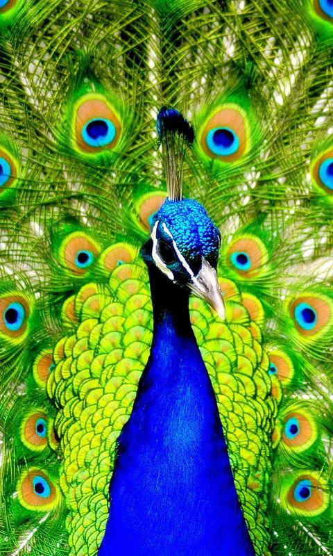 Android Phones Wallpapers Wallpaper Peacock