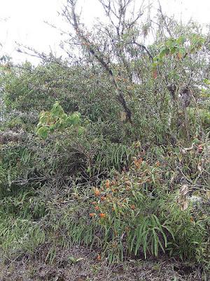 Elleanthus aurantiacus