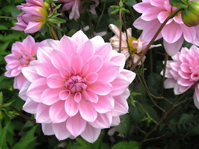 Pink flower, could be a dahlia or a crysanthamum