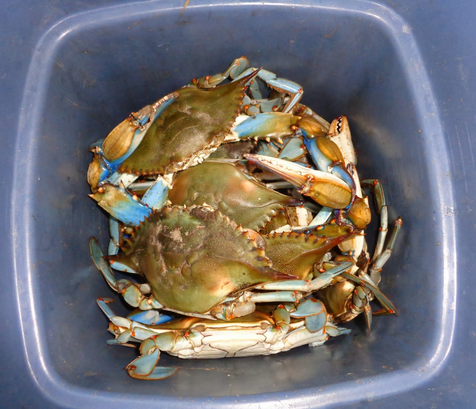 chesapeake bay s blue crab An introduction to the blue crab blue crabs in the chesapeake classroom resource produced at the virginia institute of marine science by lisa lawrence, vicki clark.
