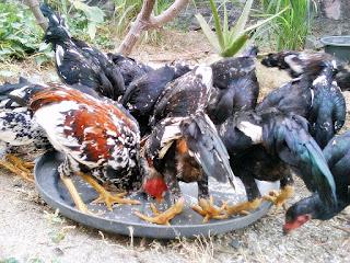 Pakan ayam kampung alternatif