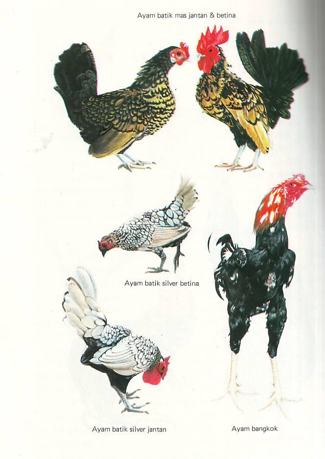 Artikel tentang Ayam Aduan Super hanya ada di cahousekeeping.com
