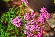 Achillea millefolium 'Pink Form'