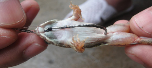 Móc mồi ếch câu cá lóc