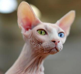 Sara I Kucing Tanpa Bulu