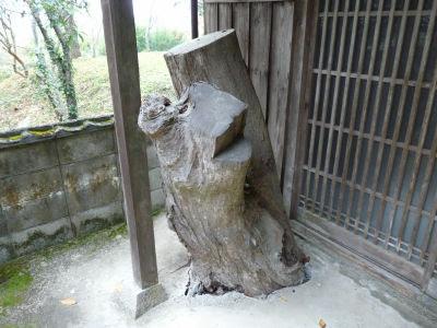 Karube Jinja - Tronco da cerejeira