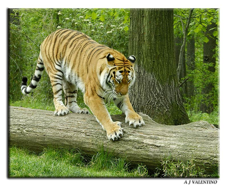 encyclopedia of animal facts and pictures siberian tigers