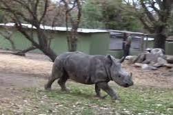 Após a agressão, assustado, o rinoceronte fugiu para longe da girafa